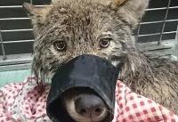 سگ نجات یافته از رودخانه یخزده گرگ از کار درآمد