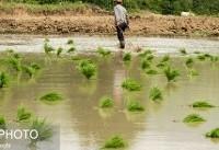 ۹۵ درصد خزانه برنج  ۷ روستای صومعه سرا زیر آب رفته