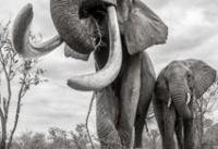 آخرین عکسهای 'ملکه فیلها' در کنیا