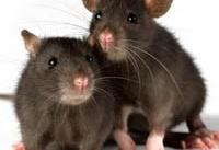 ۴ میلیون موش، همسایه تهرانی&#۸۲۰۴;ها هستند