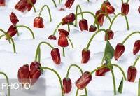 گل لالهای که برند کرج شده است