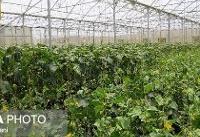 نقش مهم فرهنگ توسعه گلخانهای در رونق تولید و صادرات