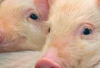 خوکها بعد از مرگ، زنده شدند!