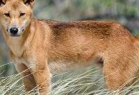 پدر استرالیایی فرزندش را از دهان سگ وحشی نجات داد