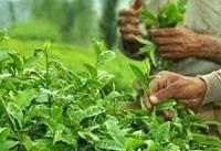 عباسی: قیمت ۱۸۰۰ تومانی برگ چای ناعادلانه است