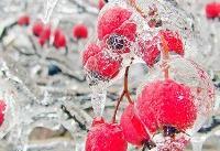 هشدار هواشناسی؛ احتمال یخزدگی محصولات کشاورزی در برخی مناطق کشور