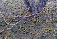 ۱۴هزار هکتار از مراتع سیستان و بلوچستان علیه ملخ صحرایی سمپاشی شد