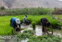 خزانه گیری ۸۵ درصد شالیزارهای مازندران/ خسارت ۶۰۰ میلیارد تومانی سیل به بخش کشاورزی