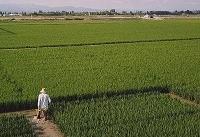 به صرفه نبودن تولید برنج، دستاورد خردشدن شالیزارها