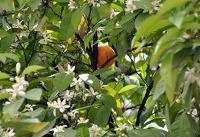 یک چهارم نارنجهای کشور در این استان تولید میشود