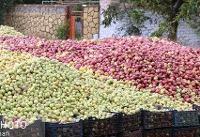 لغو ممنوعیت صادرات سیب آذربایجان غربی
