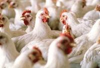 پاسخ وزارت بهداشت به اخباری درباره شیوع آنفلوآنزای پرندگان در آذربایجان شرقی