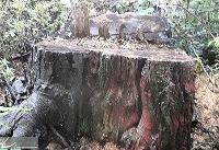قطع ۹۰ اصله توسکای جنگلی توسط &#۳۴;امور آب&#۳۴; سوادکوه بدون اطلاع سازمان جنگل&#۸۲۰۴;ها