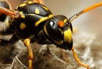 زنبورهای بیعسل مزاحم نیستند