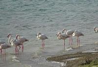 شمار فلامینگوهای دریاچه ارومیه به ۴۵ هزار بال میرسد