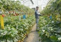 هر هکتار گلخانه؛ ۱۰ شغل جدید