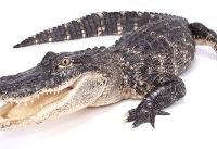 گرمای جهانی تمساحها را خطرناکتر میکند