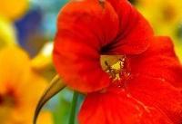 گلهای خوراکی و خواص آنها
