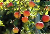 تولید کودهایی برای تامین نیتروژن مورد نیاز گیاهان باغی و زراعی با نوعی باکتری