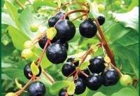 قره قاط گیاهی با اثرضد دیابتی و فشار خون