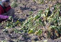 حمایت همه جانبه از چغندرقندکاران در قالب کشاورزی قراردادی