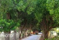 گلایه دانشجویان دانشگاه خلیج فارس از نحوه هرس درختان + تصاویر