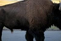 Girl tossed into the air by charging Yellowstone National Park buffalo