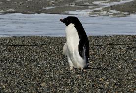 کشف پنگوئنی که همقد انسان بود