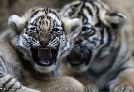 هفت توله ببر باغوحش مشهد در کمتر از ۳ ماه تلف شدهاند