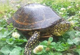 گرمایش جهانی چه بلایی سر لاکپشتها میآورد؟