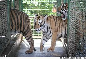 توله ببرهایی که در فضای متعفن باغ وحش مشهد مُردند