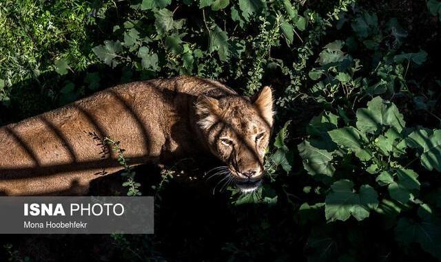 بررسی علل مرگ تولهببرهای باغ وحش وکیلآباد مشهد