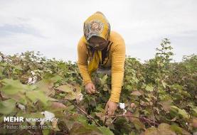 پیشبینی تامین ۶۰ درصد نیاز صنایع نساجی کشور با پنبه تولید داخل