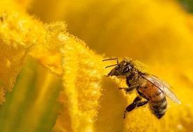 چرا ۵۰۰ میلیون زنبور در برزیل مردند؟