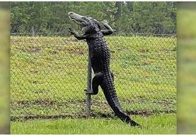 ورود یک تمساح به پایگاه نظامی آمریکا! +عکس
