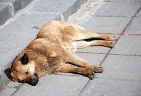 ابعاد جدید از سگکشی؛ زجرکش کردن با عقیمسازی غیر استاندارد