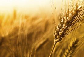 به گندم و نان مردم هم رحم نکردند! مدیران و کارکنان شرکت غله گنبدکاووس در پی ترکیب