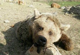 زنده گیری خرس در زیارت گلستان/ توله نر به تهران منتقل شد
