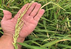 جلوگیری از ممنوعیت کشت برنج با روش خشکه کاری