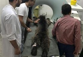توله خرس زیارت گرگان تلف شد