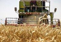 تولید گندم آغشته به فضولات حیوانی!