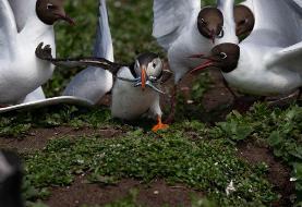 عکس   طوطی دریایی و جوجههایش در عکس روز نشنال جئوگرافیک