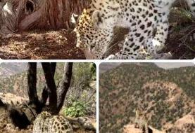 ثبت تصاویر متفاوت از وجود پلنگ در منطقه حفاظت شده دنا +عکس