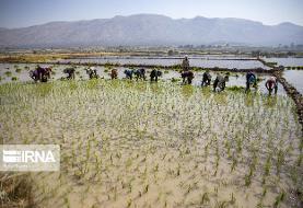 معاون وزیر نیرو: کاشت برنج در ۱۷ استان کشور فاجعه است