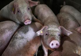 South Korea confirms first cases of swine African fever outbreak