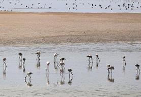 بازگشت فلامینگوها به دریاچه ارومیه و شکوفایی آرتمیا