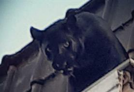 Black panther roaming on rooftops in France's Lille captured