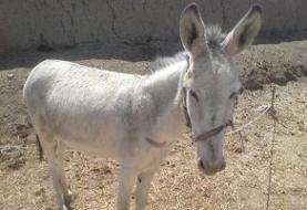 فیلمی منزجر کننده از حیوانآزاری تکاندهنده در مازندران: جوانی در بهشهر گوش یک الاغ را بُرید!