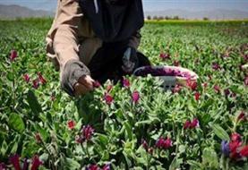 عقبماندگی استان مرکزی از بازار گیاهان دارویی