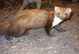 سمور سنگی گونه ای کمیاب از پستانداران کشور